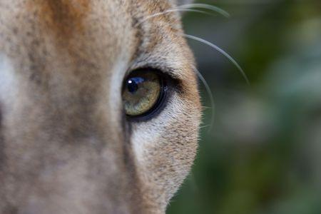 close up of puma (cougar) eye
