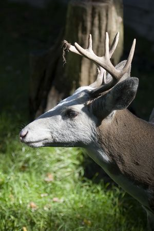 virginianus: Piebald Whitetail Deer - Buck (Odocoileus virginianus)