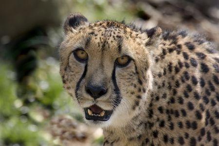 Cheetah (Acinonyx jubatus) Reklamní fotografie