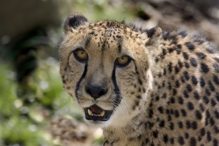 acinonyx: Cheetah (Acinonyx jubatus) Stock Photo