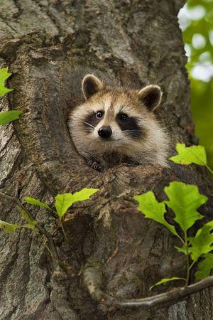 Common Raccoon (Procyon lotor) Stock Photo