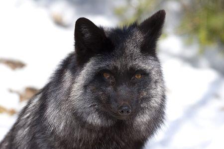 silver fox: Silver Fox (Vulpes vulpes) - plata fase de Red Fox Foto de archivo