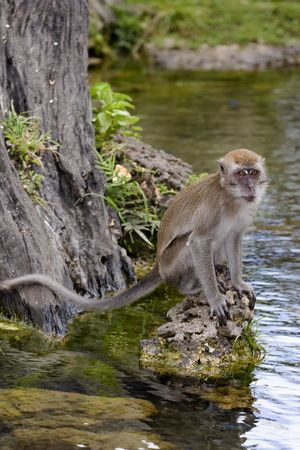 Java Macaque (Macaca fascicularis) sitting by wateralso known as Crab Eating Macaque