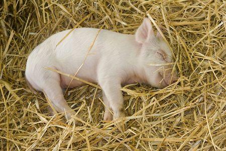 scrofa: piglet (Sus scrofa domesticus) sleeping in straw