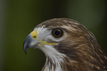 Side portrait of a Red-tailed hawk Stock Photo - 4988896