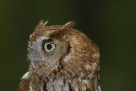megascops: Side portrait of a Eastern Screech-owl (Megascops asio)