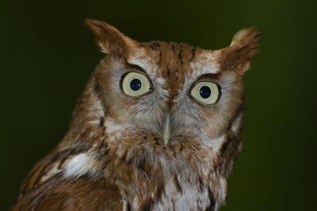 megascops: Frontal portrait of an Eastern Screech-owl (Megascops asio) Stock Photo