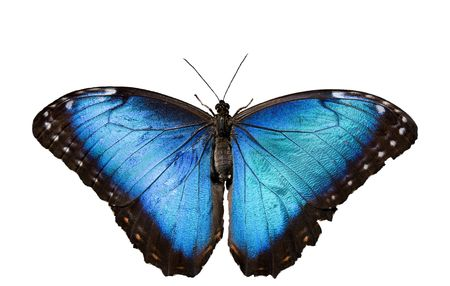 Blue Morpho Butterfly on White Background Stock Photo