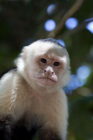 Capuchin Monkey (Cebus capucinus) in Manuel Antonio National Park in Costa Rica