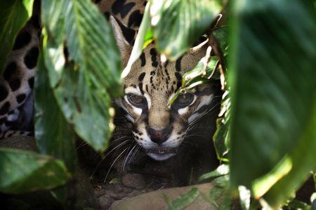 Ocelot (Leopardus pardalis) peering out from behind leaves