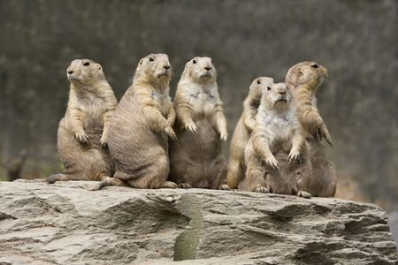 Group of Prairie Dogs all sitting upright and alert