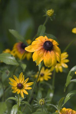 susan: Black-Eyed Susan (Rudbeckia hirta) (Asteraceae)