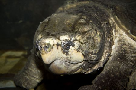 freshwater turtle: Alligator Snapping Turtle (Macrochelys temminckii) under water Stock Photo