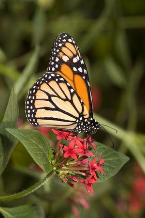 Monarch butterfly (Danaus plexippus) on red flower