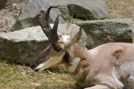 Pronghorn (Antilocapra americana) laying in front of some rocks photo