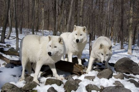 3 Arctic Wolves standing in the snow Stock Photo - 5274866