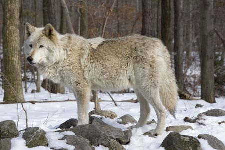 on gray: Timber Wolf (Canis lupus lycaon) standing in snow Stock Photo