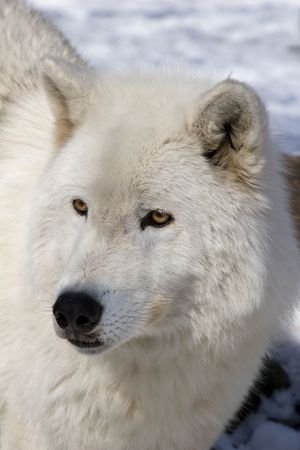 Portrait of Arctic Wolf (Canis lupus arctos) in snow Banco de Imagens - 5298204