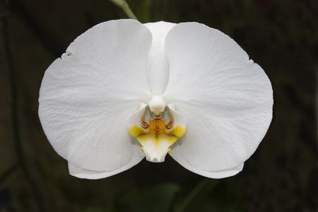 single White Orchid naturally lit against dark background