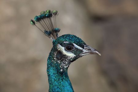 close up of the head of a peacock