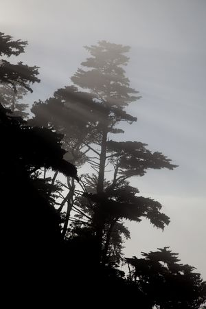 Trees in mist along the coastat Point Lobos State Natural Reserve in California