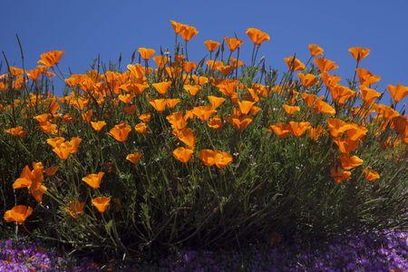 California Poppy (Eschscholzia californica) flowers against blue sky