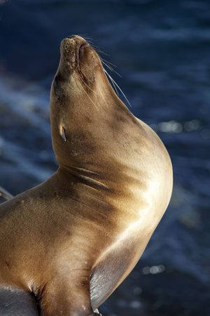 California Sea Lion (Zalophus californianus) basking in the sun Stock Photo