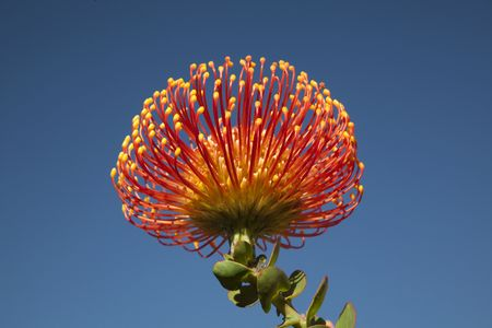 Proteus Flower isolated against blue sky Stock Photo