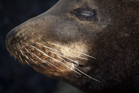 Close-up of the whiskers of a California Sea Lion (Zalophus californianus)