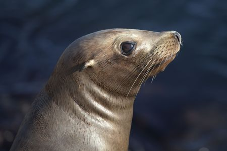 Close-up of the face of a California Sea Lion Stock Photo - 7299087