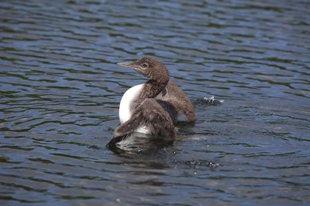 Common Loon chick coming up out of the water