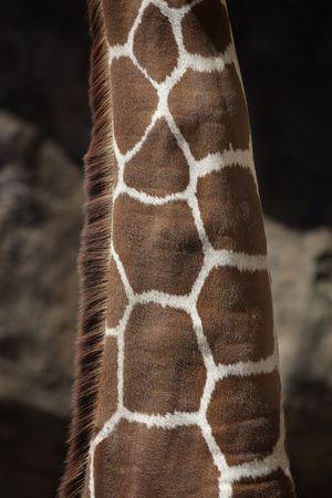 Close up of the neck of a Giraffe (Giraffa camelopardalis)