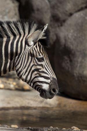 Profile of a Common zebra (Equus burchellii)