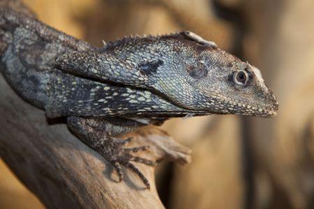 side portrait of a Frilled Lizard (Chlamydosaurus kingii) Stock Photo