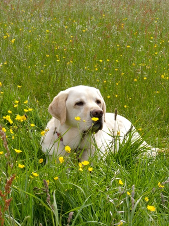 A Golden Labrador lying down in a meadow with green grass and yellow flowers photo