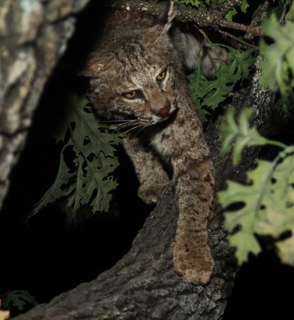 lince rojo: Charlotte Bobcats en un �rbol de noche