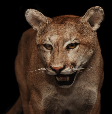 North American mountain lion shot with flash at night photo