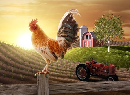 early morning: Rooster perched upon a farm fence post as the sun rises behind him Stock Photo