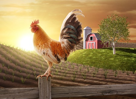 Rooster perched upon a farm fence post as the sun rises behind him Stock Photo
