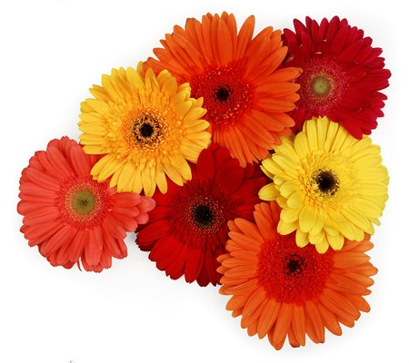 yellow, red and orange gerber daisies on white
