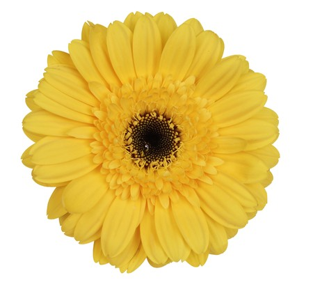 Yellow gerber daisy on white background photo