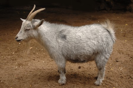 billy: Billy goat Stock Photo