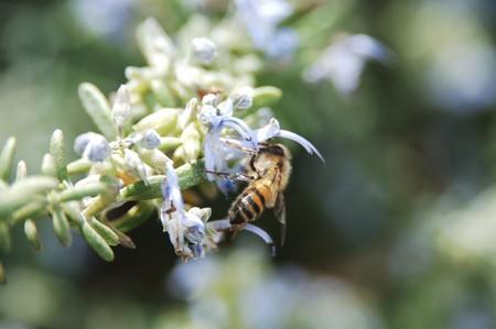 Honey bee pollinating a flower bud Фото со стока