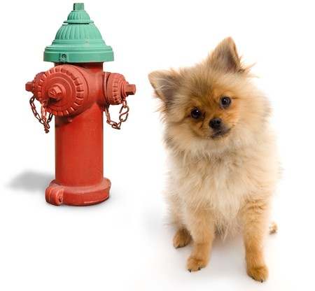 Pomeranian posing next to a fire hydrant on a white background
