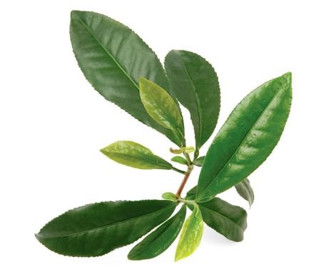 white tea: Green tea leaves on living tea bush