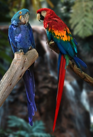 hyacinth macaw and red and gold macaw parrots photo