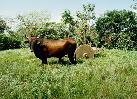 buey: Permanente de buey en un campo de hierba delante de un carro de woodedn primitivo