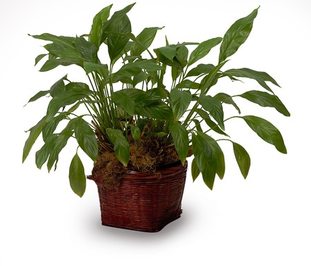potting: a house plant isolated on white