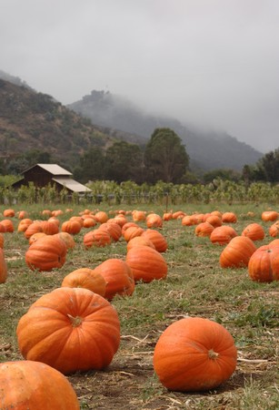 Pumpkin patch with barn mist rolling over the hills in the background photo