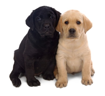 companions: Two Labrador Retriever puppys leaning on one another on a white background.